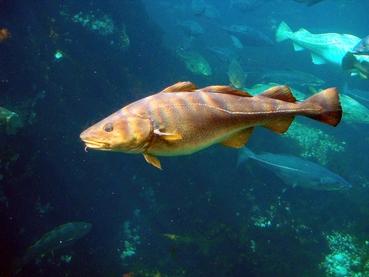 Photo: Atlantic cod. Hans-Petter Fjeld (CC BY-SA 3.0: https://creativecommons.org/licenses/by-sa/3.0/)