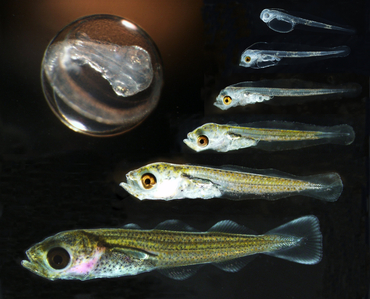 Photo: Cod developmental stages. By Terje van der Meeren / Institute of Marine Research (CC BY-SA 4.0: https://creativecommons.org/licenses/by-sa/4.0/)