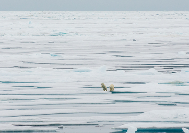 Two polar bears in the Arctic in August 2020: Photo: Espen Storheim, NERSC -  KV Svalbard research cruise, CAATEX 2020
